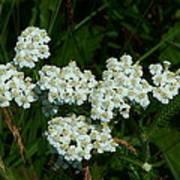 White Flowers In Green Field Art Print