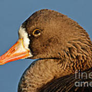 White-fronted Goose Art Print