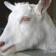 White Goat Art Print by Ann Horn