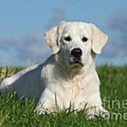White Golden Retriever Dog Lying In Grass Art Print by Dog Photos