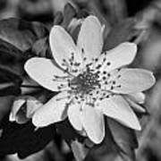 White Hepatica Art Print