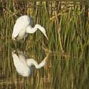 White Heron Staring At The Water Art Print