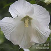 White Hibiscus Squared Art Print