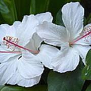 White Hibiscus Trio Waikiki Art Print
