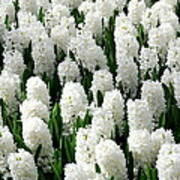 White Hyacinths Art Print