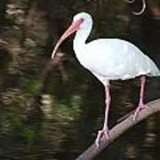 White Ibis On Mangrove Limp Art Print