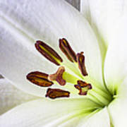 White Lily Close Up Art Print by Garry Gay