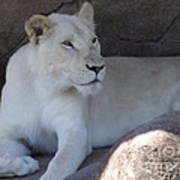 White Lion Looking Proud Art Print