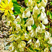 White Locoweed On Highline Trail In Glacier National Park-montana Art Print