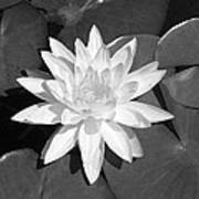 White Lotus 2 Art Print