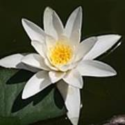 My White Lotus Art Print