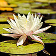 White Lotus Flower In Lily Pond Print by Susan Schmitz