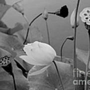 White Lotus Flowers In Balboa Park San Diego Art Print