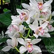White Orchid In Full Bloom Art Print