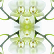 White Orchid With Stems Art Print