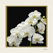 White Orchids II Art Print by Tom Prendergast