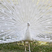 White Peacock - Fountain Of Youth Art Print