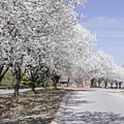 White Pear Trees Casting Shadows Art Print