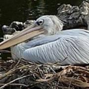 White Pelican 1 Art Print