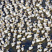White Pelican Party Art Print