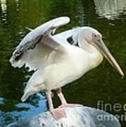 White Pelican Standing  Art Print
