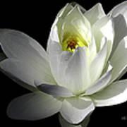 White Petals Aquatic Bloom Art Print