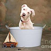 White Pitbull Puppy Portrait Art Print by James BO  Insogna