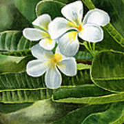 White Plumeria Flowers Art Print