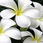 White Plumeria Art Print