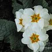 White Primroses Art Print