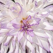 White Purple Dahlia Art Print