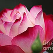 White Red Rose 01 Art Print
