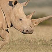 White Rhinoceros Kenya Art Print