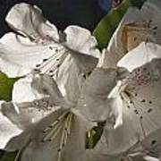 White Rhododendron B Art Print