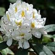 White Rhododendron Art Print