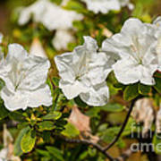 White Rhododendron Flowers In Bloom. Art Print