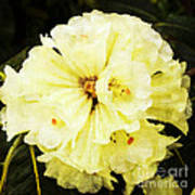 White Rhododendrons Art Print