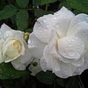 White Rose And Raindrops Art Print