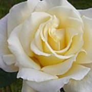 White Rose Named Ray Of Sun Art Print