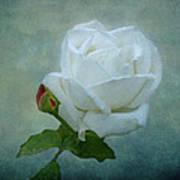 White Rose On Blue Art Print