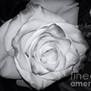 White Rose Passion Impression Art Print