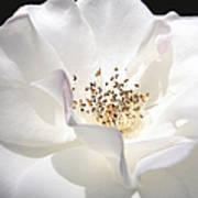 White Rose Petals Art Print by Jennie Marie Schell