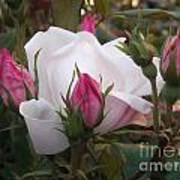 White Rose Pink Buds Art Print