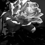 White Rose Print by Robert Bales