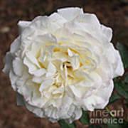 White Rose Square Art Print
