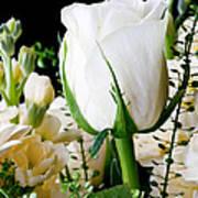 White Roses Close Up Art Print