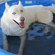 White Siberian Husky In Pool Art Print