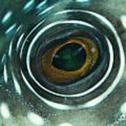 White-spotted Pufferfish Eye Art Print