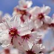White Spring Almond Flowers Art Print