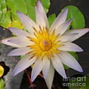White Star Lotus Art Print